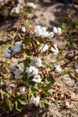 cotton grows