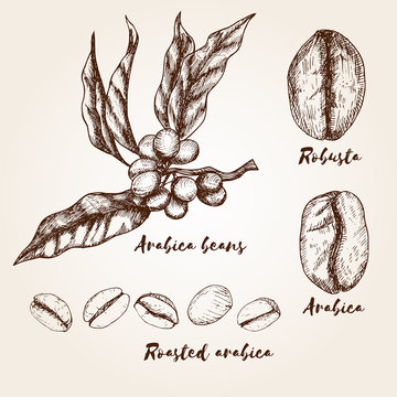 Hand drawn arabica and robusta beans. Types of coffee beans.