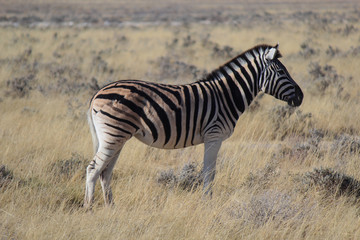 Foto op Canvas Zebra Zebra with a big scar in its back eating alone in the Etosha National Park (Namibia – Africa)