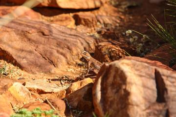 Ring tailed Dragon, perfect Camouflage, KIngs Canyon, Watarrka National Park, Australia