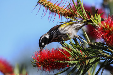Close up of a New Holland honeyeater feeding on a blossom, Esperance, Western Australia