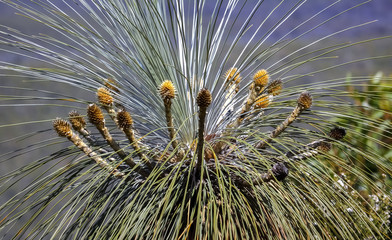 Crown of a Kingia australis, an Australian grass tree, Stirling Range National Park, Western Australia