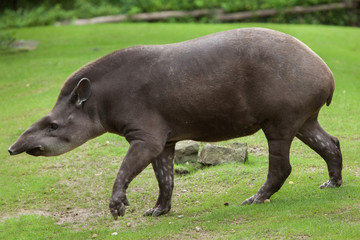 Wall Mural - South American tapir (Tapirus terrestris)
