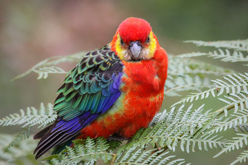 Close up of a colorful Western rosella perching on leaves, Gloucester National Park, Western Australia
