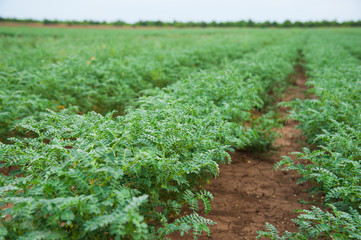 Chickpea crop field