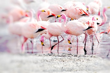 Fototapete - Flamingos on lake in Andes, the southern part of Bolivia