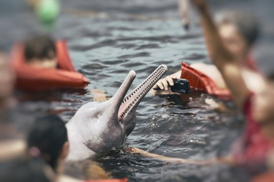 People feeding the famous Pink Dolphin (Boto Rosa) in Amazon, Brazil.