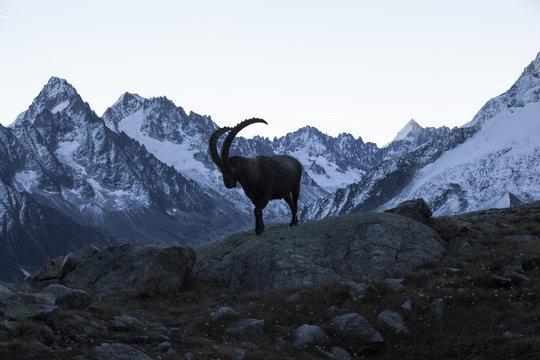 Le roi des Alpes