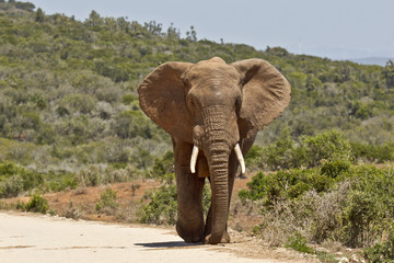 Poster Olifant Large male elephant walking along a dirt road