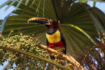 Chestnut eared aracari sitting in a Palm tree, Pantanal, Brazil