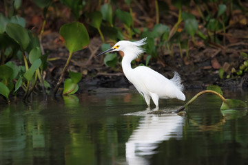 Snowy egret searching for food in the water with reflection, Pantanal, Brazil