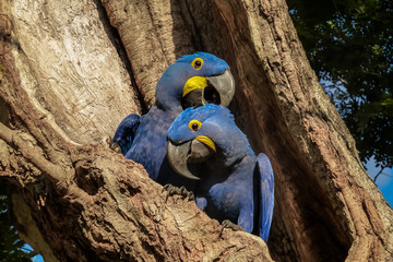 Pair of Hyacinth macaws nestle together  in a tree hole, Pantanal, Brazil