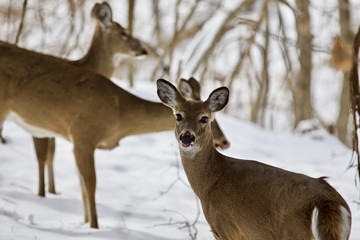 Beautiful image of three wild deer in the snowy forest