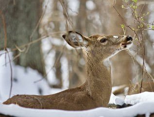 Beautiful isolated background with a wild deer eating leaves in the snowy forest