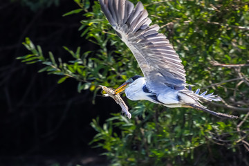 White necked heron flying with a fish spiked with its beak, Pantanal, Brazil