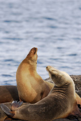 Galapagos Sea Lion, head throw, South Plaza, Galapagos Islands