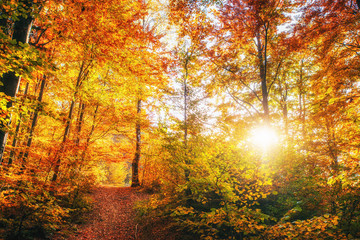 birch forest in sunny afternoon while autumn season. Ukraine Europe
