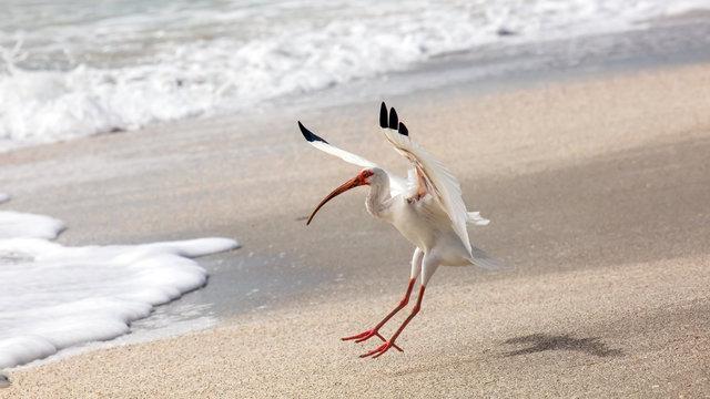 White ibis (Eudocimus albus) landing on the shore, Sanibel Island, Florida, USA