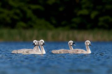 mute swan, cygnus olor, Czech republic