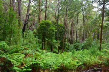 Forest scenery along 5km Lilly Pilly Gully Nature Walk in Wilsons Promontory National Park, Victoria, Australia.