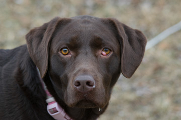 Chocolate Lab Face #3