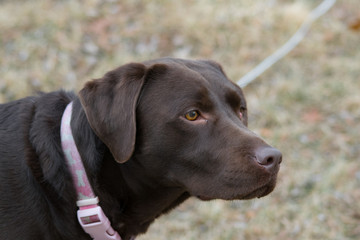 Chocolate Lab Face #2