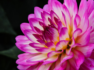 Purple Dahlia, Side View
