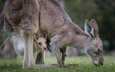 Deurstickers Kangoeroe Kangaroo and Joey (in pouch)