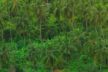Palm tree forest and plantation amongst banana trees in concept photo reminding us to conserve mother nature.