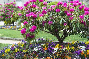 Azalea in a park