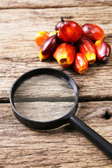 Oil palm seeds with magnifying glass. Concept of palm oil market watch.