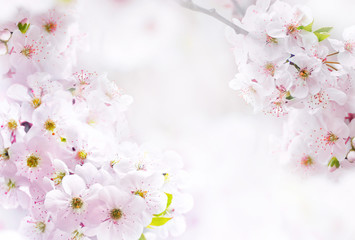 Flowering  pink  flowers cherry macro close-up outdoor on soft blurred light background. Spring floral border desktop template wallpaper a postcard. Romantic soft gentle artistic image.