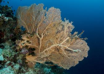 Beautiful Sea fan, Maldives
