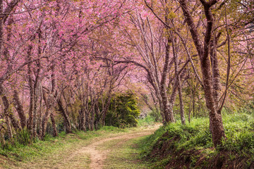 cherry blossom pink sakura in Thailand and a footpath leading into the scene