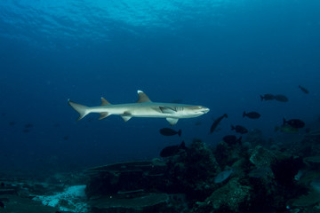 Beautiful grey reef shark cruising around the coral reef, Maldives