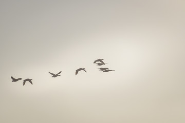Gooses flying in the golden hour sunlight, pastel color