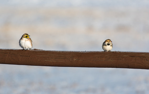 Horned Lark and Lapland Longspur on a Frosty Wooden Fence