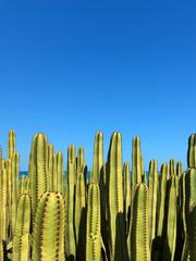 Kanaren Wolfsmilch Kaktus Euphorbia canariensis