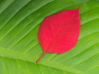 Red Leaf on Green Leaf