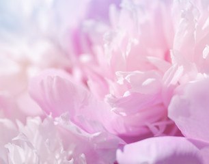 Pink peony flowers. Bouquet of pink peonies close up. Gentle pink background