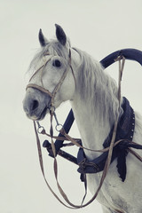Head of a white horse in harness on white background