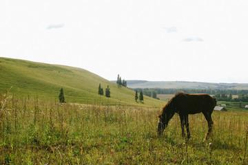 Foal grazing in the open field in summer