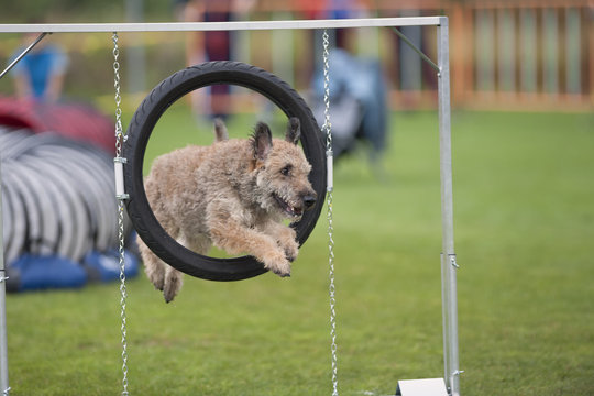 Dog jumping through an agility hoop