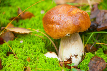 beautiful porcini mushroom growing in forest