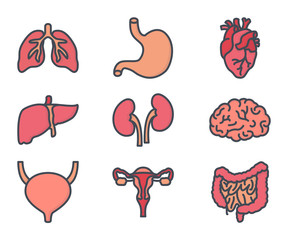 human internal organs colored icon