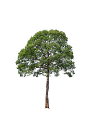 big trees  isolated on a white background