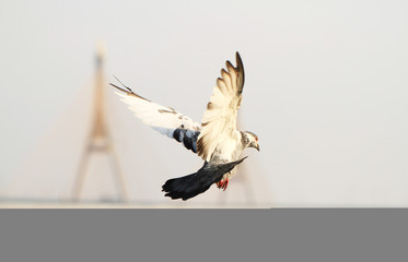 Pigeon flying with bridge in background