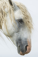 Portrait of a white wild horse in Theodore Roosevelt National Park; North Dakota, United States of America