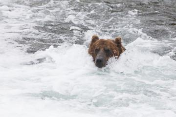 Grizzly bear (Ursus arctos) fishing for sockeye salmon at Brooks Falls in Katmai National Park & Preserve, Southwest Alaska; Alaska, United States of America