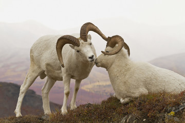Dall's sheep rams at slope, Alaska, USA